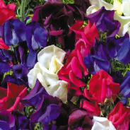 Sweet Pea - Old Spice - Starry Night - 40 seeds